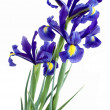 Lila irises — Stock Photo