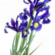 Stock Photo: Lila irises