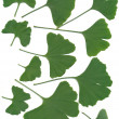 Green leaves of asian tree ginkgo — Stock Photo