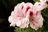 Pink flower of geranium plant — Stock Photo