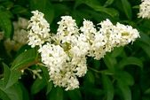 Privet bush in blossom — Stockfoto