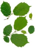 Green leaves of hazel tree — Stock Photo