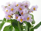 Lila flowers of potato plant — Stock Photo