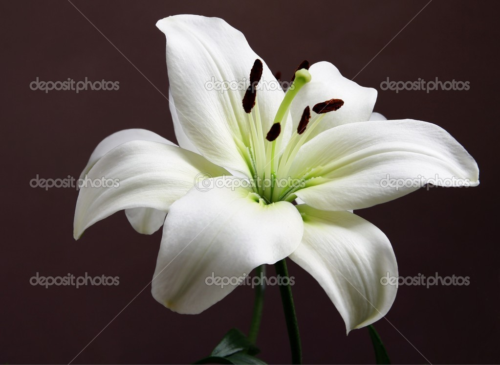 Flower of white lily — Stock Photo #7806592