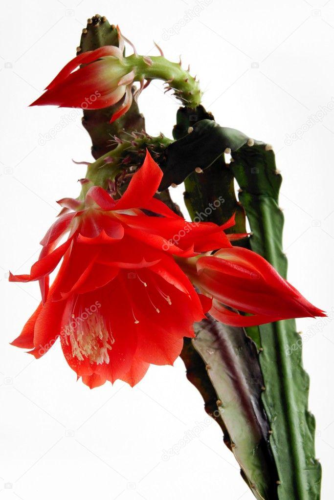 rote bl ten des kaktus pflanze mit wei en pollen. Black Bedroom Furniture Sets. Home Design Ideas