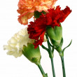 Stock Photo: Three carnations in posy
