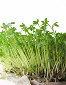 Germination of cuckoo-flower herb for easter decoration — Stock Photo