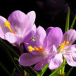 Stock Photo: Crocus lilflowers