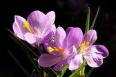 Crocus lila bloemen — Stockfoto