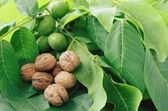 Raw green and ripe walnuts — Stockfoto
