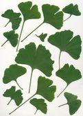 Liść ginkgo biloba drzewa — Zdjęcie stockowe
