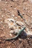 Formentera lizard — Stock Photo
