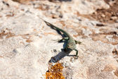 Formentera lizard — Stock Photo
