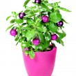 Christmas green plant with baubles — Stock Photo