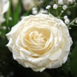 White rose — Stock Photo #7379612