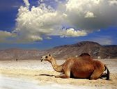 Camel on a desert of Oman — Stock Photo