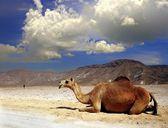 Camel on a desert of Oman — Stock Photo