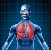 人类窦和呼吸道系统 — 图库照片
