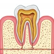 Anatomy of a healthy human tooth - Stock Photo