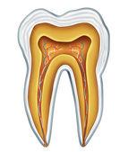 Tooth medical anatomy — Stock Photo