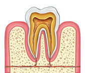 Anatomy of a healthy human tooth — Stock Photo