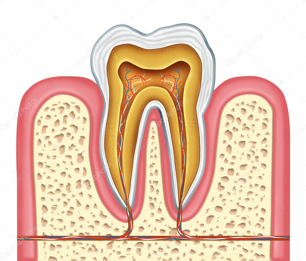Anatomy of a healthy human tooth diagram as a dentist surgeon teeth symbol for dental clinic and oral specialist representing dentistry medicine and mouth surge — Stock Photo #7855300