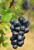 Red grape with green leaf in the vineyard — Stock Photo