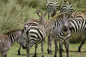 Common zebra — Stock Photo