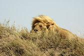 Lion(Panthera leo).11 — Stock Photo