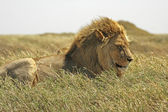 Löwe (Panthera leo). — Stockfoto