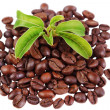 Stock Photo: Green plant in pile of coffee beans
