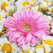 Aster flower, against a background of daisies. — Stock Photo