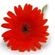 Royalty-Free Stock Photo: Red gerbera flower. Isolated on white