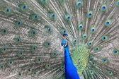 Blue Indian peacock bird — Stock Photo
