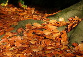 Leaves on the ground by the roots of a tree in autumn — Stock Photo