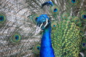 Blue indian peacock — Stock Photo