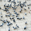 Countless doves pecking bread — Stock Photo