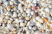 Shells Background — Stock Photo