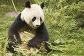 Panda with bamboo — Stock Photo
