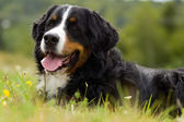 Dog - Bernese Mountain Dog — Stock Photo