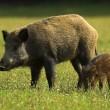 Boar - Wild Pig - Sus scrofa — Stock Photo