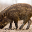 Royalty-Free Stock Photo: Boar - Wild Pig - Sus scrofa