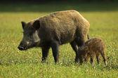 Boar - Wild Pig - Sus scrofa — Stock Photo