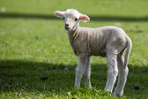 Lamb - Young Sheep — Stock Photo