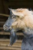 ヤギ capra hircus aegagrus-更新 — ストック写真