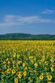 Sunflower field — Stok fotoğraf