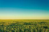 Gröna korn öron — Stockfoto