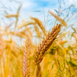 Wheat with shining golden ears — Stock Photo