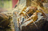 The crawfish on a stone — Stock Photo