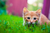 Young kitten is hunting on green grass — Stock Photo